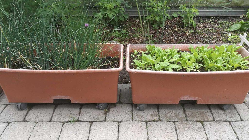 Auginti daržoves galima ir plastikiniuose konteineriuose su ratukais, kuriuos lengva transportuoti iš vienos vietos į kitą.